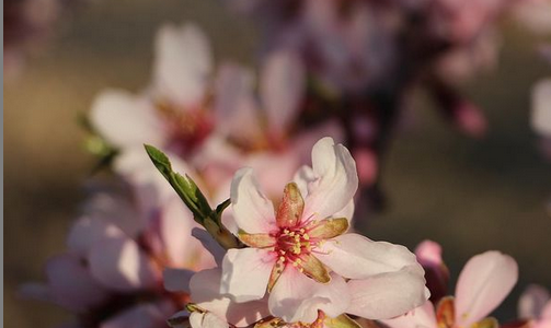 Flor d'ametller